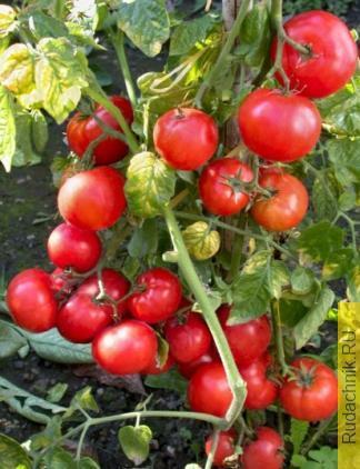 Сорта низкорослых томатов для открытого грунта Владимирской области