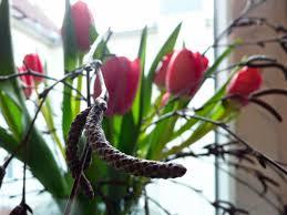 На фото: тюльпаны цветут в домашних условиях зимой.