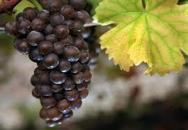 Выращивание и размножение винограда