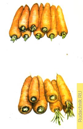 Выращивание семян моркови, хранение маточников моркови.
