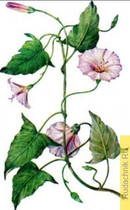 Какой гербицид более эффективен против вьюнка полевого?