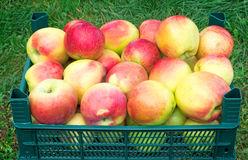 Осенние сорта яблонь.