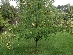 Мелколистость или розеточность у яблонь