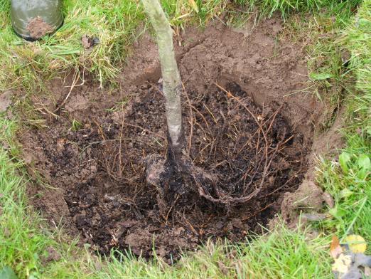 Копка ямы для посадки плодового саженца