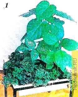 Растение с крупными округло-сердцевидными листьями — перец липолистный, тропический кустарник из Нового и Старого Света; средний ярус образуют бемерия шероховатая и диффенбахия пёстрая.