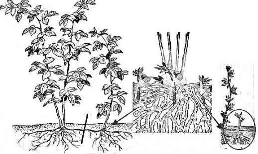 Как размножать смородину черенками