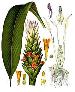 Куркума. Растение куркумы. Цветы куркумы.