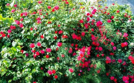 Куст роз. Сколько может жить куст розы.