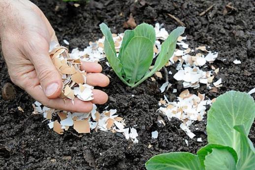 Подкормка капусты яичной скорлупой