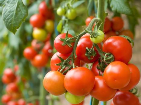 Окучивание томатов фото