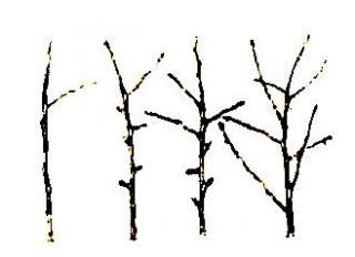 Обрезка веток яблони. Пробудимость почек, побегообразовательная способность и укорачивание веток у яблонь