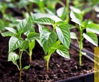 Не могу вырастить рассаду горького перца, не всходят семена.