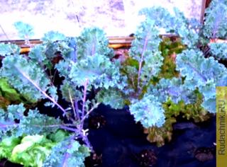 Стоит ли выращивать капусту Кале (она же грюнколь или браунколь)?