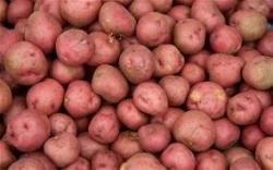 Подмёрзший картофель даёт хороший урожай