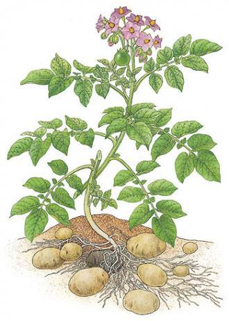 Картофель - подземная и надземная части
