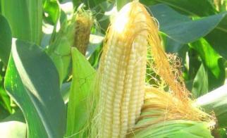Как растёт и развивается кукуруза