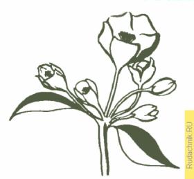 Наиболее развитый цветок на ветке яблони
