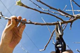 Какие есть виды обрезки плодовых деревьев. Обрезка плодового дерева в саду.