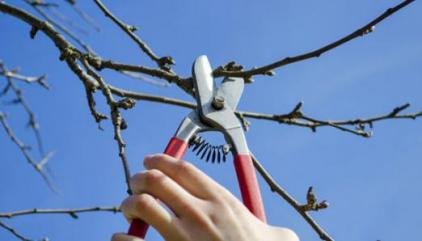 Укорачивание плодовых деревьев.