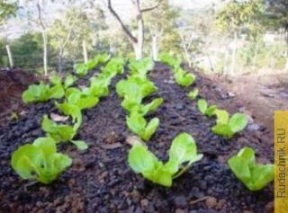 Выращивание семян салата