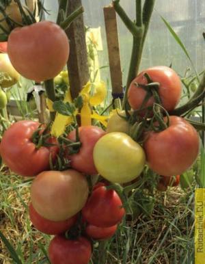 Сорт помидоров Кукла, плоды