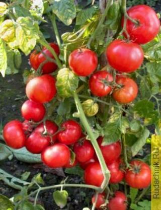 Сорта низкорослых томатов для открытого грунта и песчаной почвы во Владимирской области.