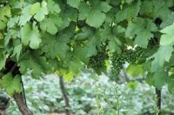 Способ быстрого разведения винограда