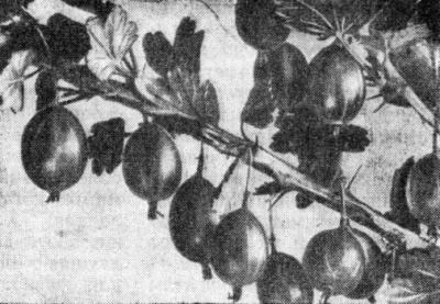 Крыжовник сорта Московский виноградный.