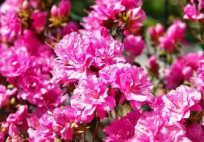 Японский рододендрон (Rhododendron japonicum) фото.
