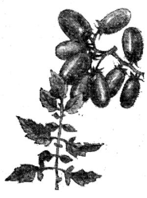Сорта помидор для выращивания в открытом грунте
