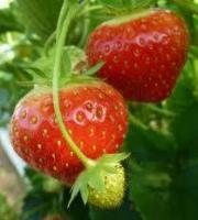 На фото - ягоды земляники садовой.