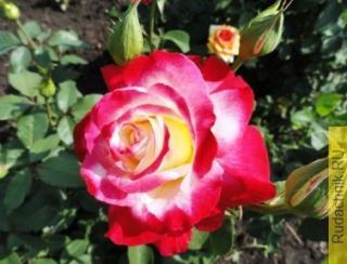 Как посадить чайно-гибридную розу правильно?