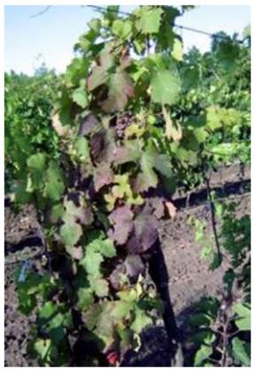 вирусные заболевания винограда
