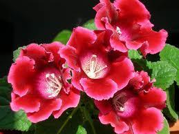 красная глоксиния фото