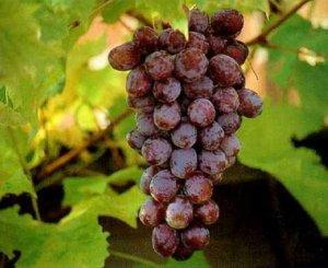 Борьба с засухой при выращивании винограда.