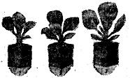 Рассада ранней капусты в горшочках: 1 — из некомпостированной смеси; 2,3 — из компоста