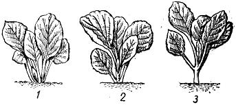 Посадка капустной рассады.