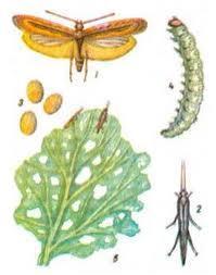 Капустная моль, её гусеница и повреждения капустного листа