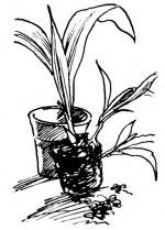 вынув растение из горшка, надо слегка отряхнуть землю с корней