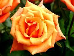 На фото - роза.
