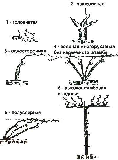 Формы кустов винограда