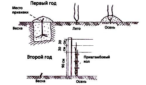 Среднештамбовая веерная форма куста