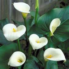 цветок каллы, Calla