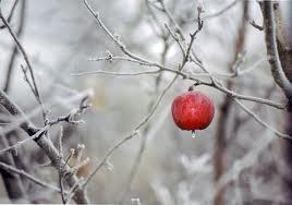 Зимние сорта яблонь.