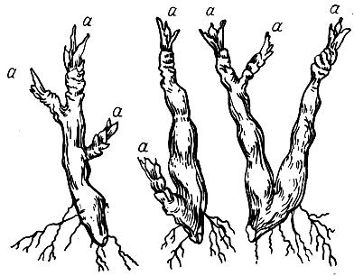 Рожки у земляники (прирост последнего года—а), рисунок.