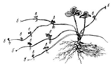 Надземная часть и корневая система земляники, рисунок.