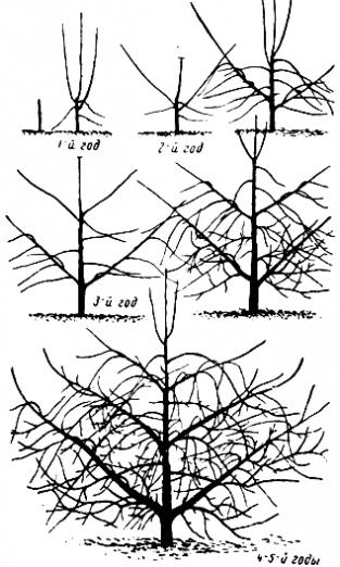 Схема формирования правильной (ярусной) пальметты.