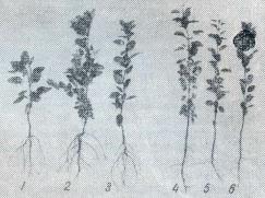 Подвои дикорастущих яблони и груши формируют стержневые корни