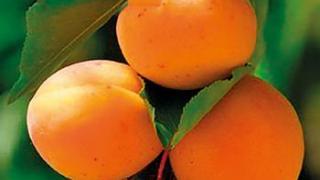 Абрикос и его плоды