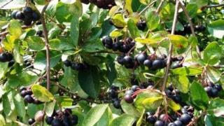 Арония черноплодная фото